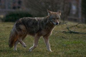 Coyote Sighting on Curry CollegeCampus